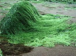 Algele verzi au invadat Marea Baltica Foto: gapo.ro